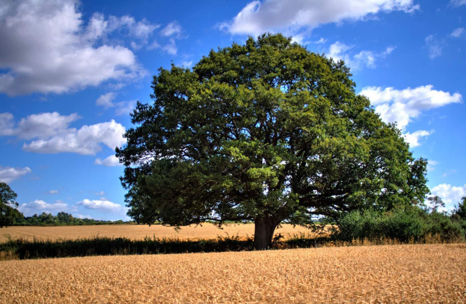 Tree standing in a wheat field of Cotswolds, England