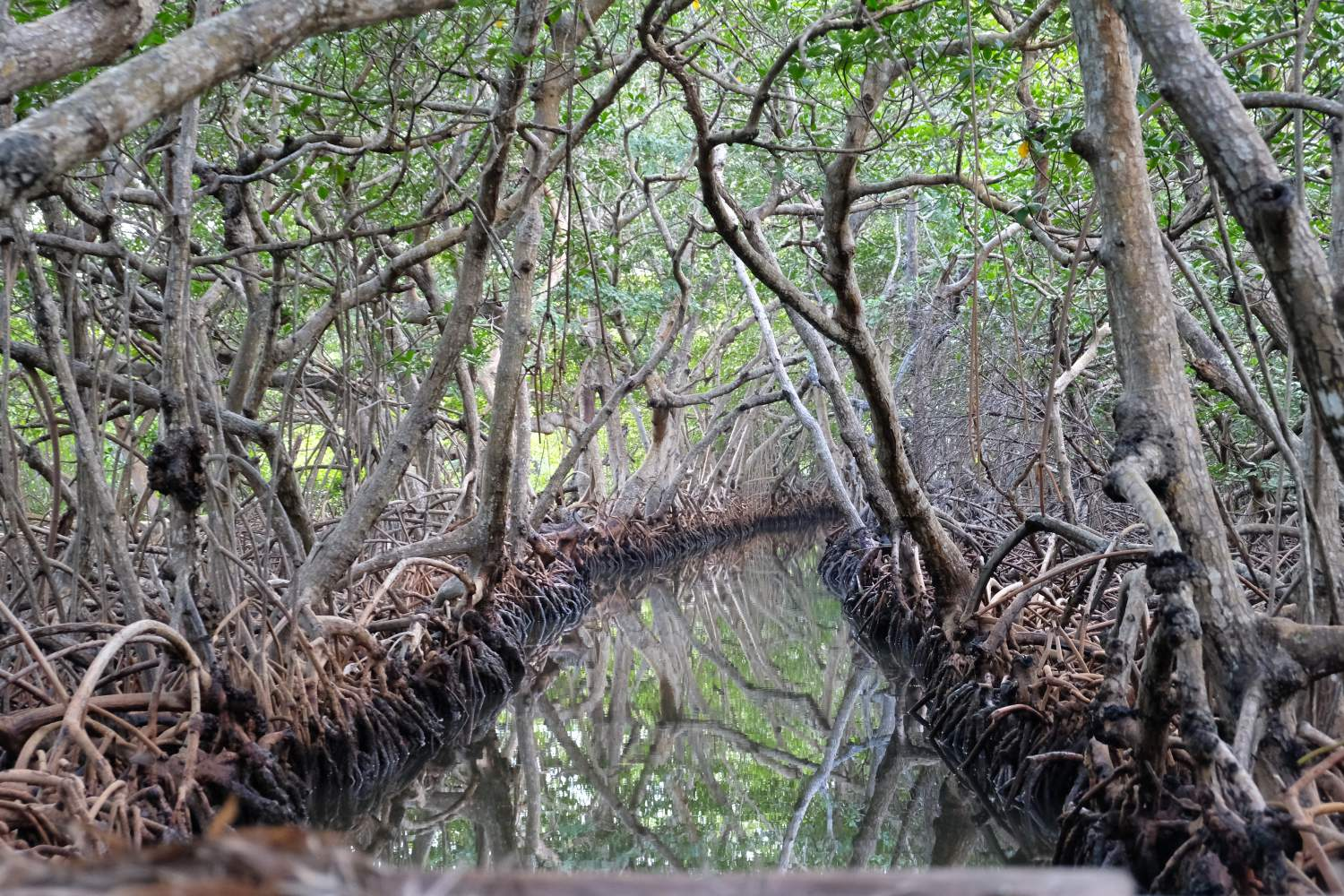 Mangroves on the east-end of Roatan Island, Honduras