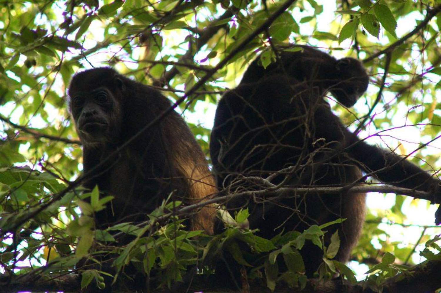 Howling monkeys guardians of Costa Rica