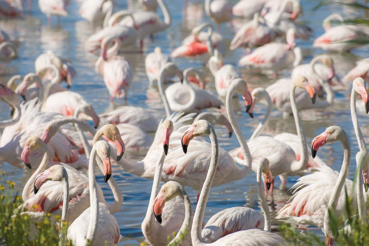 Pink flamingos on the Camargue river