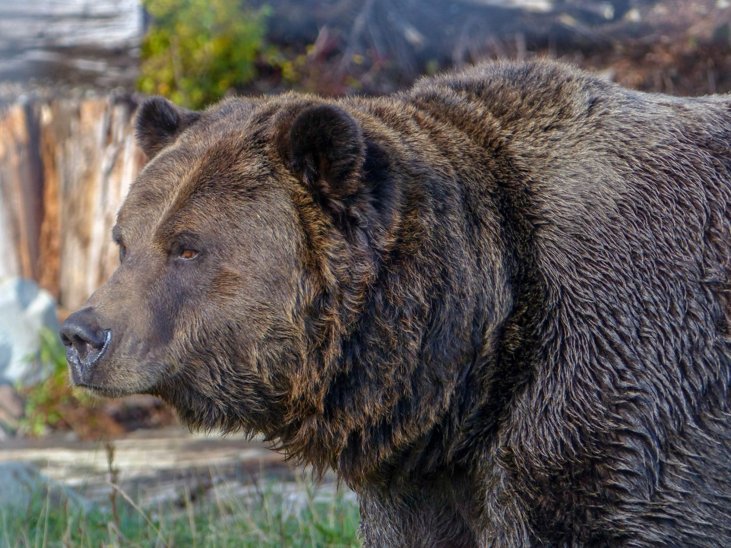 Grouse Mountain grizzly bear - Vancouver un autumn