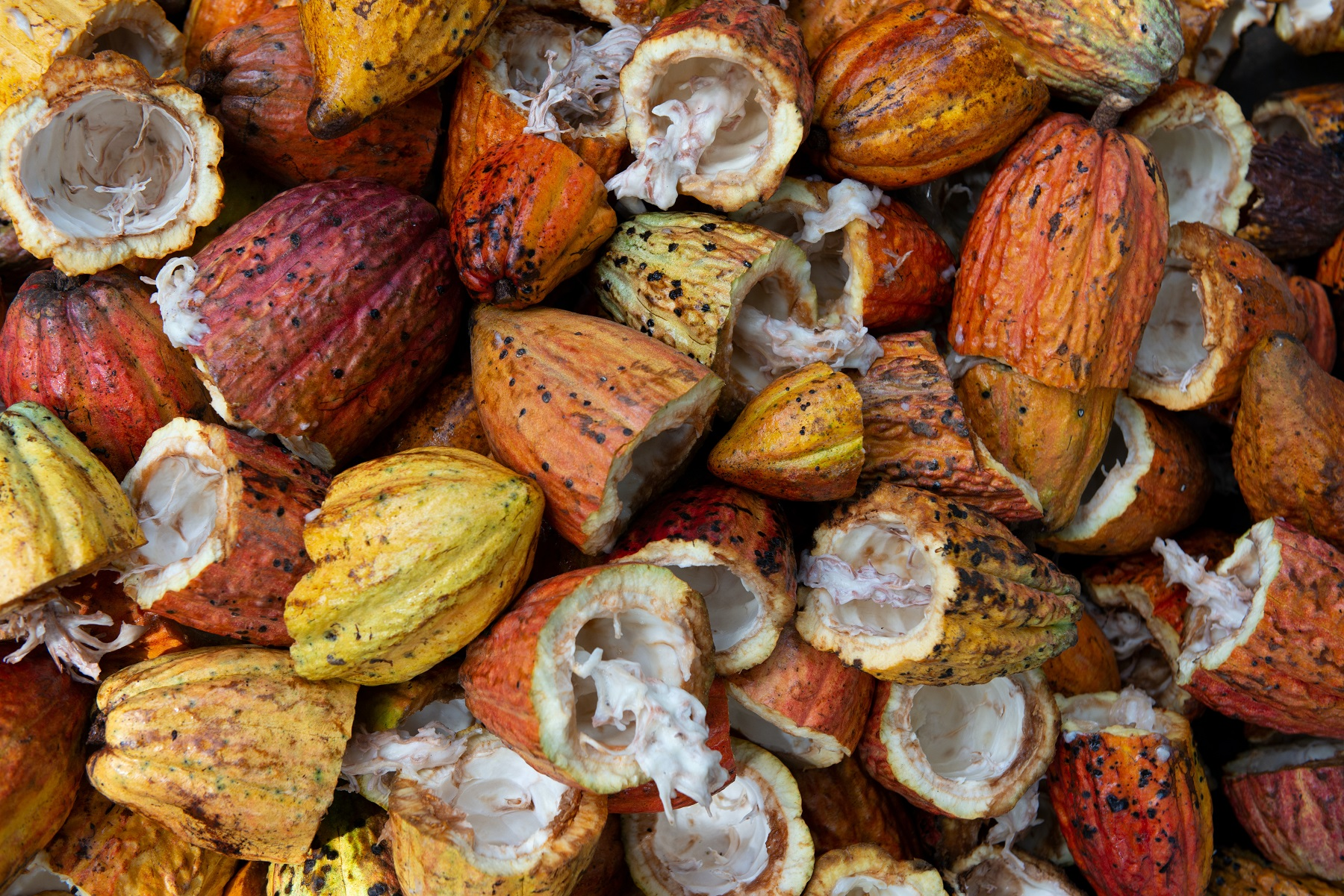 Cacao plantation tour in Honduras - chocolate attractions in the South
