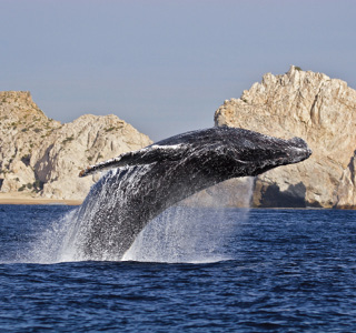 Los Cabos-Whale