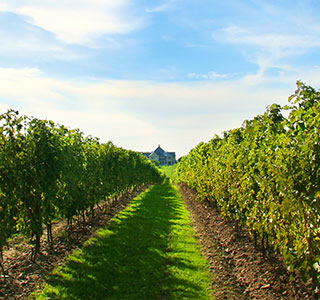 Niagara Vineyard